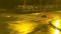 大熊猫凌晨遛弯走斑马线