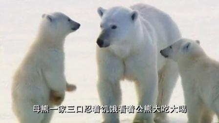 北极熊的母子情深